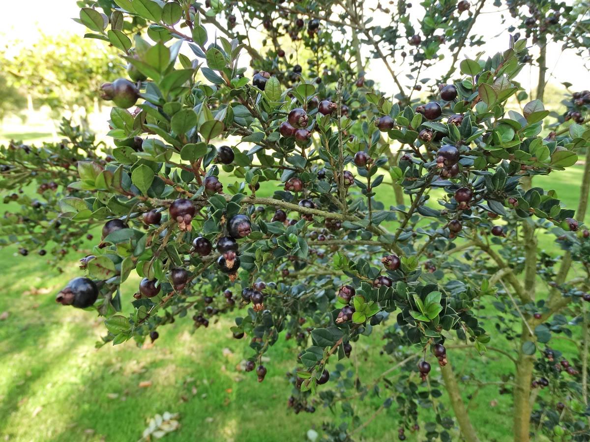 myrtus luma fruits comestibles au jardin forum de jardinage. Black Bedroom Furniture Sets. Home Design Ideas