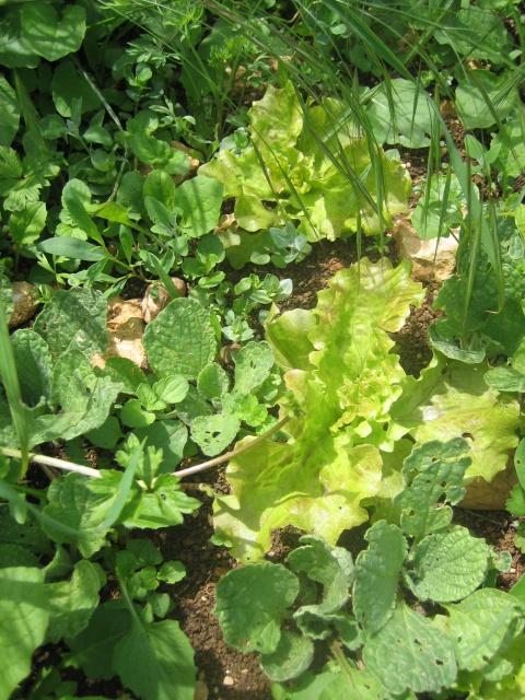 Mon potager envahi par les mauvaises herbes au jardin forum de jardinage - Mauvaise herbe jardin potager ...