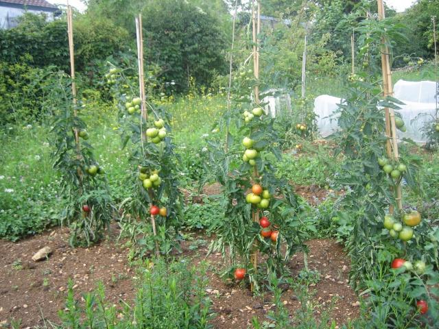 tuteurs pour tomates page 2 au jardin forum de jardinage. Black Bedroom Furniture Sets. Home Design Ideas