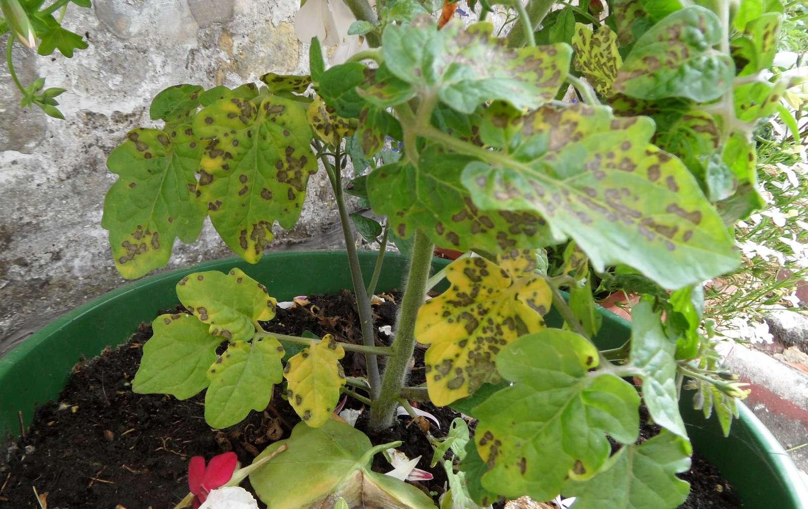 Maladies insectes et nuisances des tomates diagnostic page 18 au jardin forum de jardinage - Distance entre pied de tomate ...