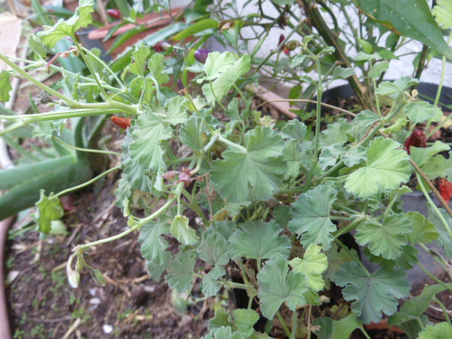 G ranium aromatique identifier au jardin forum de jardinage - Geranium feuilles qui jaunissent ...