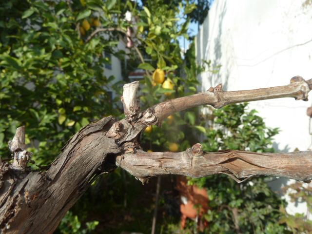 Comment tailler cette vigne svp au jardin forum de jardinage - Quand tailler une vigne ...