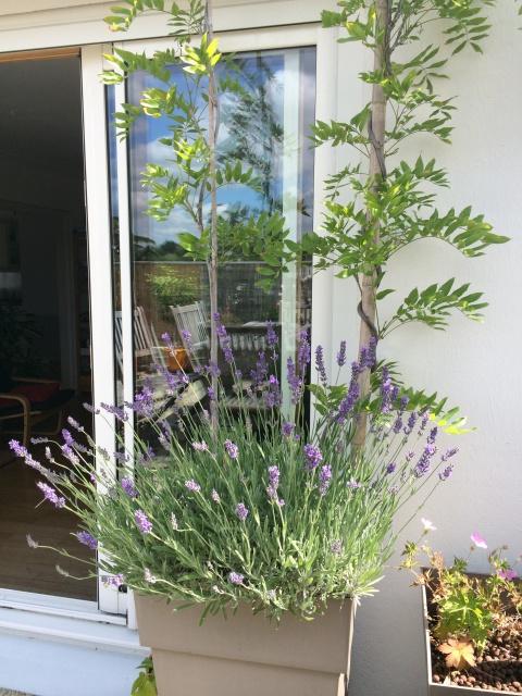 mais pourquoi mes lavandes meurent en pot au jardin. Black Bedroom Furniture Sets. Home Design Ideas